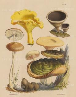 Six varieties of fungi: Cantharellus Cibaruis, Hirneola Auricula-Judae, two varieties of Agaricus, Polyporus Ulmarius and Lycoperdon Pyriforme.