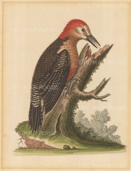 Variegated Jamaican Woodpecker