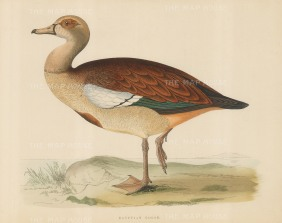 "Morris: Egyptian Goose. 1869. An original hand coloured antique lithograph. 12"" x 9"". [NATHISp6480]"