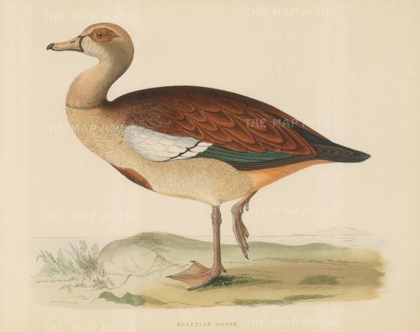 "Morris: Egyptian Goose. 1869. An original hand coloured antique lithograph. 12"" x 9"". [NATHISp6480]"