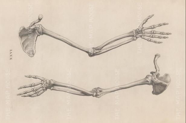 "Cheselden: Arm and Shoulder 1733. An original antique copper engraving. 17"" x 11"". [NATHISp6505]"