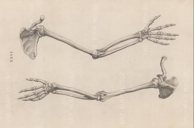 "Cheselden: Arm and Shoulder 1733. An original antique copper engraving. 11"" x 17"". [NATHISp6505]"