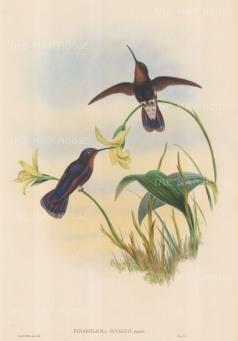 SOLD. Hummingbird: Pinarolaema Buckleyi: Buckley's Mountain Hummingbird.