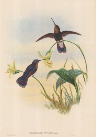 Hummingbird: Pinarolaema Buckleyi: Buckley's Mountain Hummingbird.