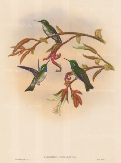Hummingbirds: Coeligena Hemileuca, White-bellied Cacique.