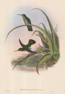 Hummingbirds: Aphantochroa Hyposticta. Spotted-breasted Hummingbirds.
