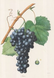 "Gorbon: Aramon Grapes. 1857. An original hand coloured antique lithograph. 11"" x 16"". [NATHISp6686]"