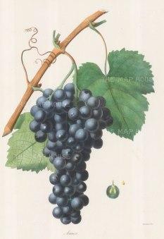 "Gorbon: Aramon Grapes. 1857. An original hand coloured antique lithograph. 11"" x 16"". [NATHISp6686]"