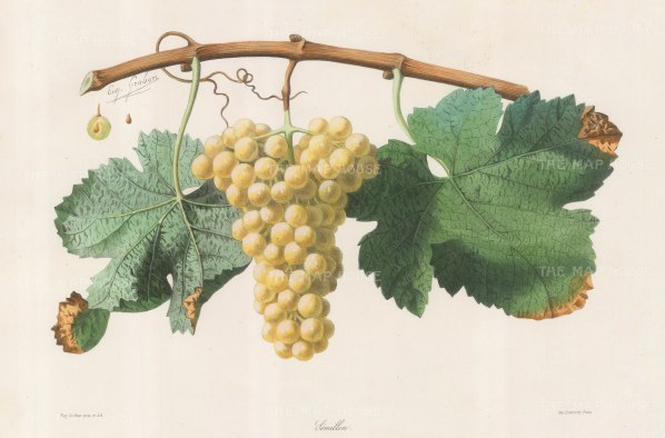 Semillon grape of Bordeaux.
