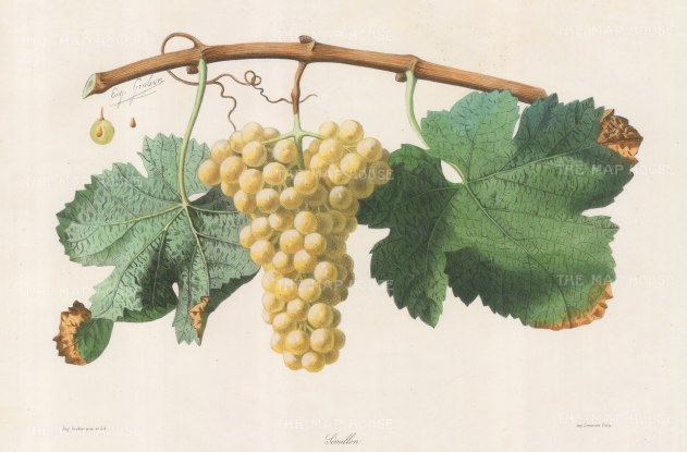 "Grobon: Semillon Grapes. 1857. An original hand coloured antique lithograph. 16"" x 11"". [NATHISp6692]"