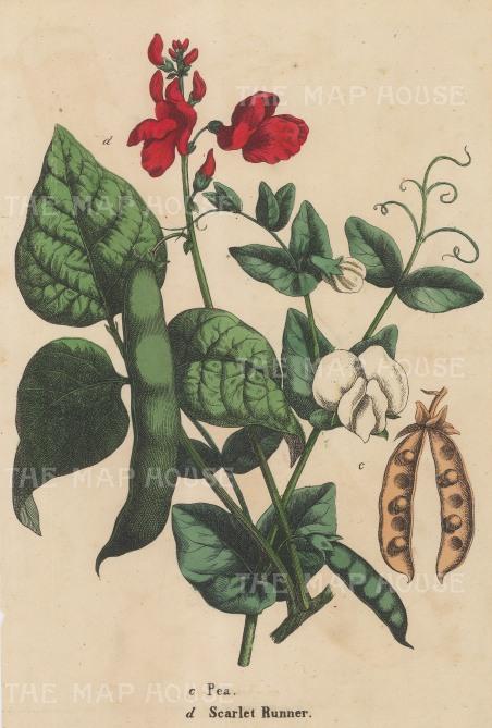 Flowering scarlet runner bean and pea pod.