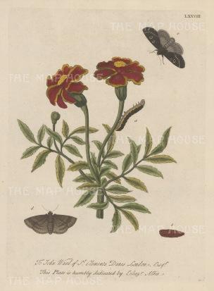 "Albin: Caterpillar on an African Marigold with chrysalis and moths. 1749. An original hand coloured antique copper engraving. 8"" x 10"". [NATHISp6824]"