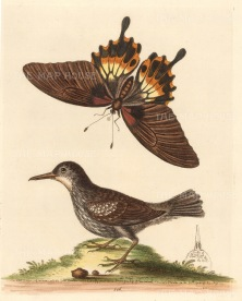 SOLD. Wallcreeper of Suriname and Great Swallow-tailed butterfly of China.
