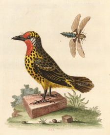 La Barbu Tachete de Cayenne with a Libellula fly. The bird was one of the 'prizes' seized by the Earl Ferres from a French ship.