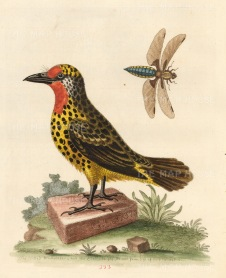 SOLD La Barbu Tachete de Cayenne with a Libellula fly. The bird was one of the 'prizes' seized by the Earl Ferres from a French ship.