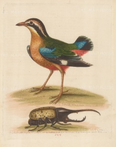 """Edwards: Short-tailed Pye of the East Indies with an Elephant beetle. 1764. An original hand coloured antique etching. 8"""" x 10"""". [NATHISp6837]"""