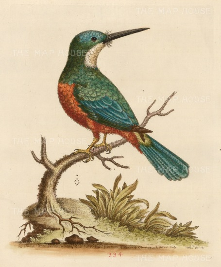 SOLD Kingfisher of Brazil: Known as the Marcgrave Jacamacri after the 17th c. naturalist .