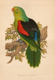 Red Winged Parrot: First described by German naturalist Johann Gmelin in 1788. Indigenous to Australia and Papua New Guinea.