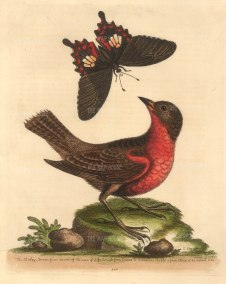 SOLD Guiana Shirley or Military Tanager (Greater Bullfinch with a common Mormon Swallowtail butterfly.