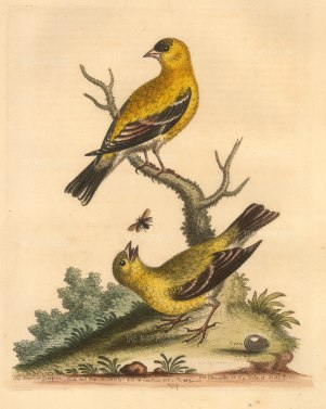 SOLD American Goldfinch cock and hen drawn from life with the one egg they laid.