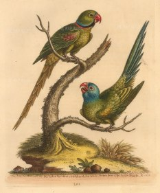 SOLD. East Indian Ringed Parakeet and Blue-headed Parakeet.