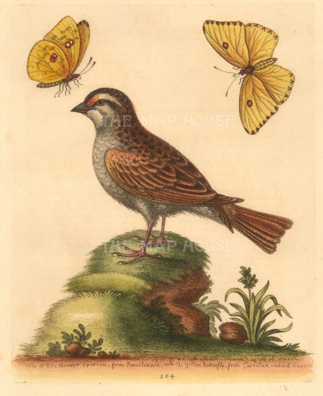 White-Troated American Sparrow with a Yellow Carolinian (Clouded Sulphur) butterfly.The sparrow after a drawing by W Bartram, the insect from life.