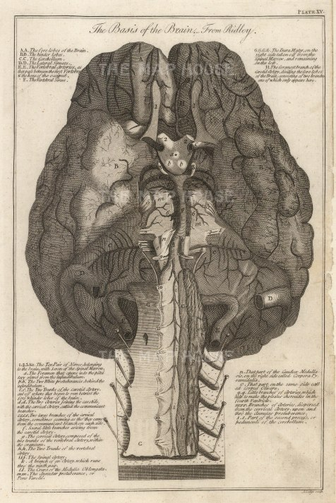 Brain: Diagram with key after the first neuroanatomist Humphrey Ridley