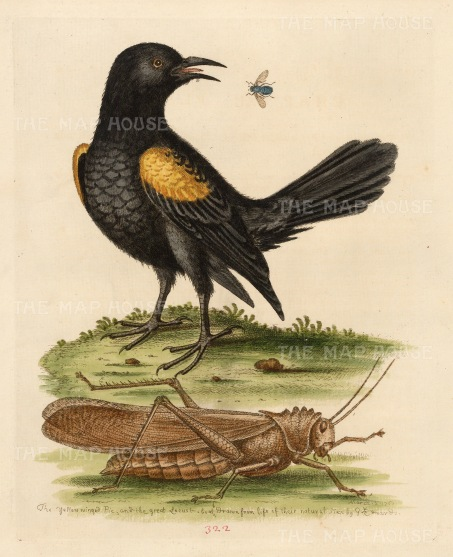 Yellow Winged Pye of Guiana with the Greater Locust.