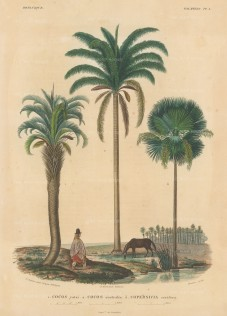 Cocos yatai, Cocos australis and Copernicus cerifera with a Bolivian in traditional dress and a horse.From d'Orbigny's eight year expedition to South America which preceded that of his rival, Charles Darwin.