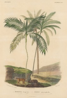 SOLD. Morenia fragrans and Cocos pityrophylla with a Coati beneath the trees.From d'Orbigny's eight year expedition to South America which preceded that of his rival, Charles Darwin.