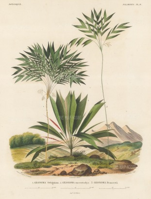 SOLD. Geonoma Orbigninia, Geonoma macrostachya and Geonoma Demarcsdtii within a scenic view. From d'Orbigny's eight year expedition to South America which preceded that of his rival, Charles Darwin.