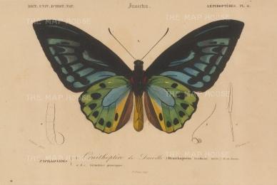 D'Urville's Birdwing Butterfly: Ornithoptera urvilliana.