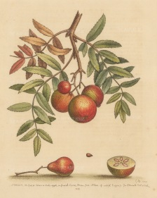 """Edwards: Sorbe or Service apple. 1758. An original hand coloured antique etching. 8"""" x 10"""". [NATHISp7474]"""
