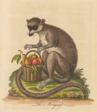 SOLD Mongoose of Madagascar with a basket of fruit: Pet of Mrs Kennon of the Royal Household.