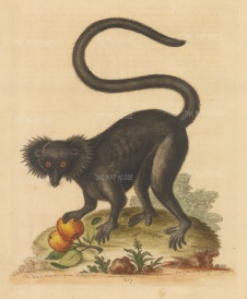 Black Maucauco or Lemur of Madagascar reaching for fruit. Pet of Mr Carrington, clerk to the Society of Surgeons.
