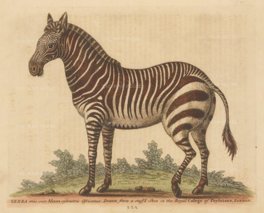 SOLD Zebra: Male African Zebra. Drawn initially from a stuffed example with additions from a live example at the Royal menagerie at Kew.