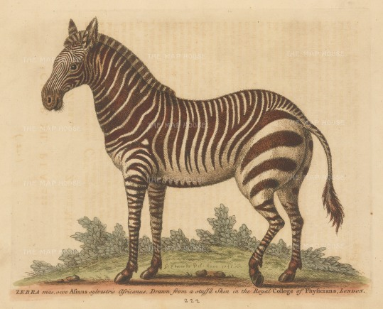 Zebra: Male African Zebra. Drawn initially from a stuffed example with additions from a live example at the Royal menagerie at Kew.
