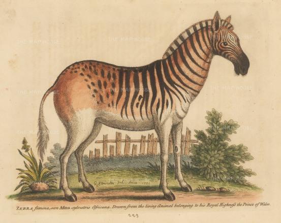 Female Quagga, an extinct sub-species of the African Plain Zebra.