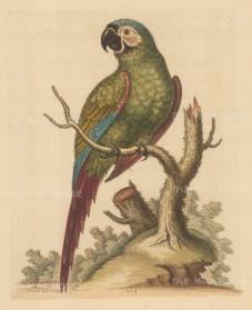 Brasilian Green Macaw. Pet of Lord Carpenter.