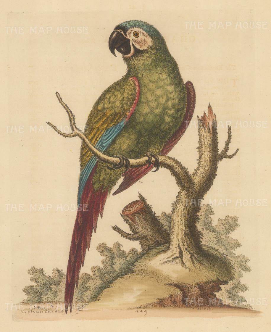 Brasilian Green Macaw. Pet of Lord Carpenter.