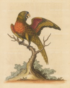 Red breasted or Mustached Parakeet. Purchased by Edwards in London from an East India ship.