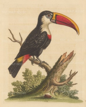 SOLD White throated Toucan of South America.