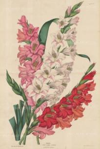 """Sowerby: Gladiolus. c1860. An original hand coloured antique zincograph. 14"""" x 21"""". [FLORAp2206]"""