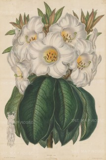 "Sowerby: Rhodedendron. c1860. An original hand coloured antique zincograph. 14"" x 21"". [FLORAp2207]"