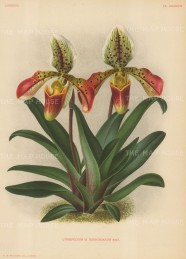 Orchid: Cypripedium Desboisianum.