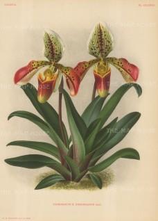 Orchid: Cypripedium Desboisianum.