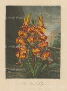 Lily:The Superb Lily, also known as the Turk's Cap, set in a romanticised North American landscape.