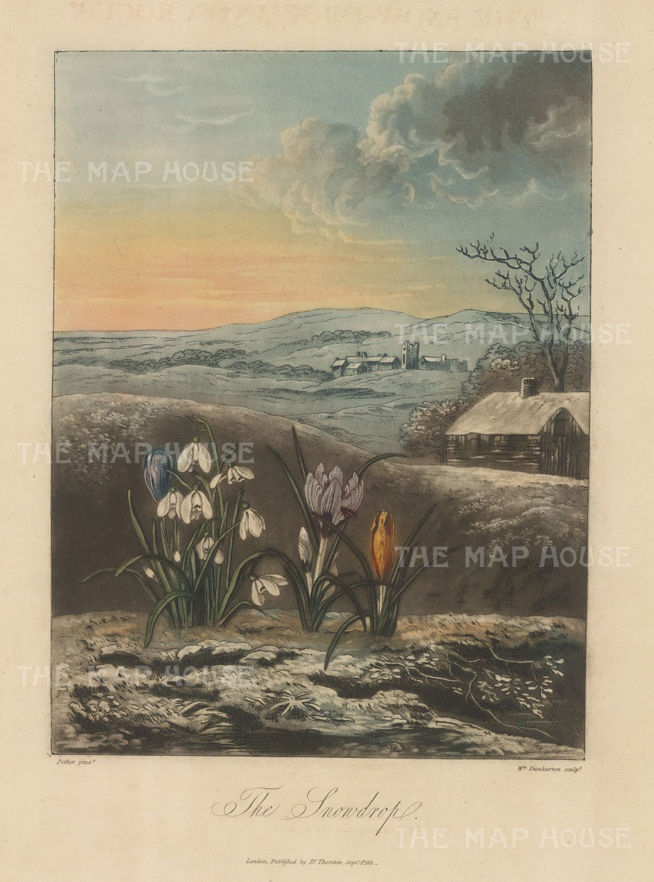 Snowdrop:The snowdrop with crocuses in a wintery English landscape.