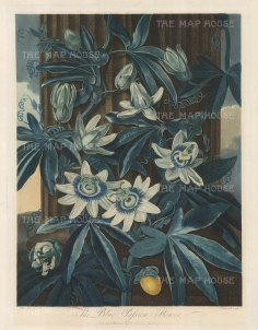 Passion Flower:The Blue Passion Flower climbing a pillar. Native to Peru and Brazil, it was introduced to Europe in 1699 where it took to cooler climes.