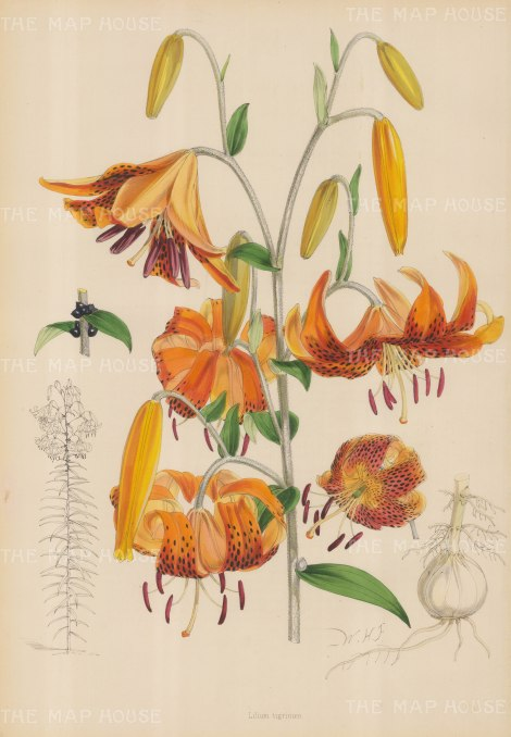 "Fitch: Tiger Lily. c1880. An original hand coloured antique lithograph. 14"" x 20"". [FLORAp2732]"